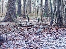 Белка изменила цвет меха от красной к серому цвету и ищет еда в лесе осен-зимы Стоковые Фото