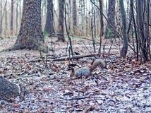 Белка изменила цвет меха от красной к серому цвету и ищет еда в лесе осен-зимы Стоковые Изображения