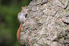 Белка младенца американская красная пряча на дереве Стоковое фото RF
