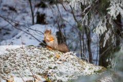 Белка на зиме стоковые фото