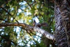 Белка на лесе дерева весной стоковые фотографии rf