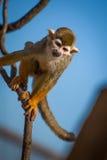 белка обезьяны ветви взбираясь Стоковое фото RF
