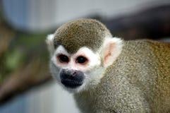 белка обезьяны Стоковые Фото