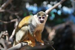 белка обезьяны стоковое фото