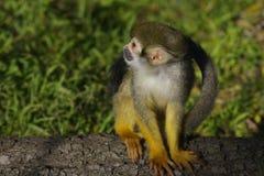 белка обезьяны Стоковая Фотография