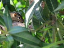 Белка пряча на верхней части дерева стоковые фото