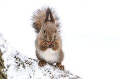 Белка сидя на снежной земле в лесе зимы и есть гайку стоковое фото
