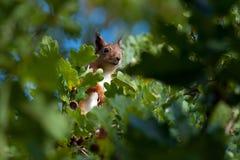 Белка сидя среди листьев дуба стоковое изображение