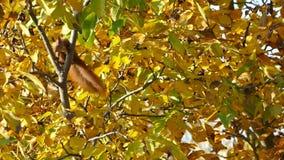 Белка собирает гайки на дереве видеоматериал