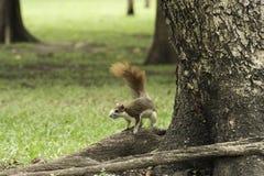 Белка стоя под деревом Стоковые Фотографии RF