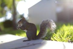 Белка с арахисом в своем рте Стоковые Изображения RF