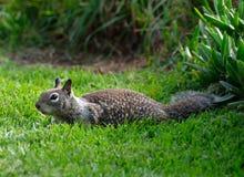 белка травы Стоковые Фотографии RF