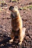 белка mongoose Стоковое Фото