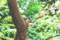 Белки едят плодоовощ на дереве Стоковое Фото