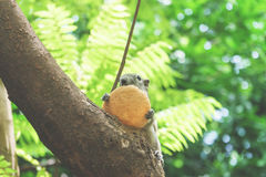 Белки едят плодоовощ на дереве Стоковые Изображения RF