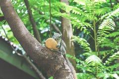 Белки едят плодоовощ на дереве Стоковые Фотографии RF
