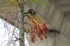 Белки есть плодоовощ на дереве Стоковое Изображение RF