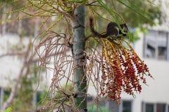 Белки есть плодоовощ на дереве Стоковая Фотография RF
