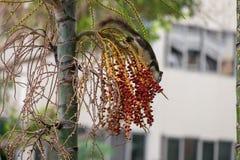 Белки есть плодоовощ на деревьях Стоковая Фотография