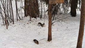 Белки, который побежали в древесине зимы видеоматериал