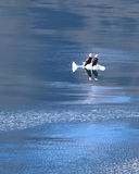 Белоголовые орланы на поплавке льда Стоковое Изображение RF