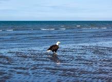 Белоголовый орлан во время отлива Стоковое Фото