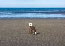 Белоголовый орлан во время отлива Стоковые Изображения RF