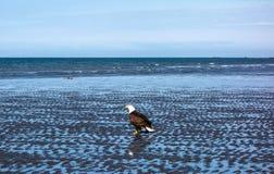 Белоголовый орлан во время отлива Стоковая Фотография