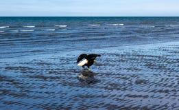 Белоголовый орлан во время отлива Стоковая Фотография RF