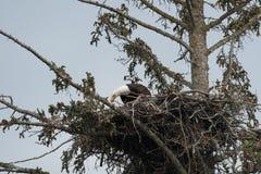 Белоголовый орлан в гнезде Стоковое Изображение RF