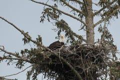 Белоголовый орлан в гнезде Стоковая Фотография RF