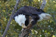 Белоголовый орлан в дереве есть рыб стоковые изображения