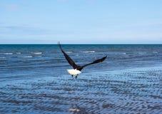 Белоголовый орлан в полете во время отлива Стоковое Изображение RF