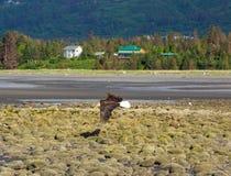 Белоголовый орлан в полете во время отлива Стоковое Фото