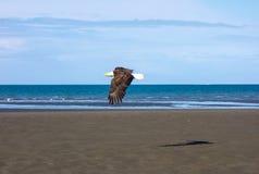 Белоголовый орлан в полете во время отлива Стоковые Изображения