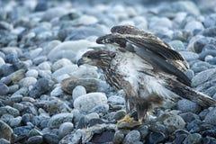 Белоголовый орлан в полете в средний воздух стоковое фото rf