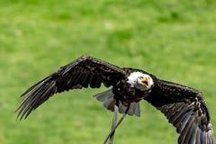 Белоголовый орлан в природе Стоковое Изображение RF