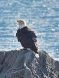 Белоголовый орлан на утесе Стоковые Фото