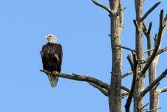 Белоголовый орлан садить на насест в мертвом дереве Стоковая Фотография RF