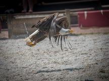 белоголовый орлан самостоятельно в полете улавливает рыбу в лете в цвете стоковое изображение rf