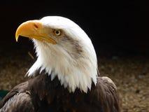 Белоголовый орлан смотря вне на мире стоковые изображения