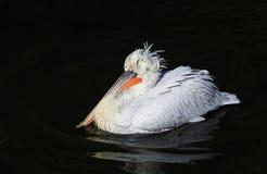 Белое вещество пеликана величественной птицы далматинское плавая на da Стоковое фото RF