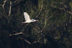 Белое длинное клеванное летание птицы стоковые изображения rf