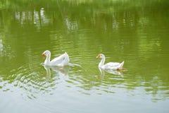 Белое заплывание гусыни в реке Стоковое Изображение RF