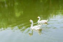 Белое заплывание гусыни в реке Стоковые Изображения RF