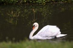 Белое заплывание лебедя в озере Стоковые Изображения