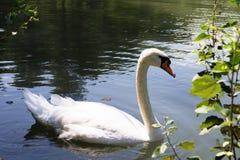 Белое заплывание лебедя в пруде стоковое изображение rf
