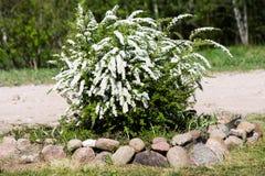 белое зацветать завода Spiraea x cinerea стоковая фотография rf
