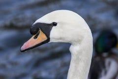 Белое изображение стороны ` s лебедя, щека черно Стоковое фото RF