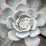 Белое и розовое суккулентное стоковое фото